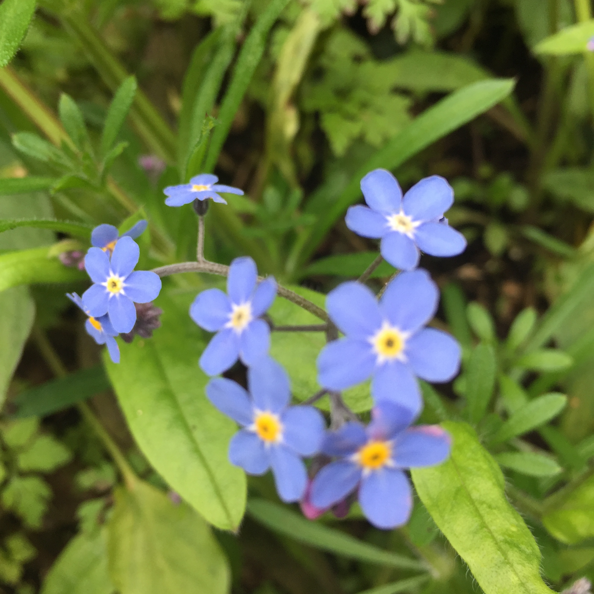 Forget-me-not, spring, flower, skincare