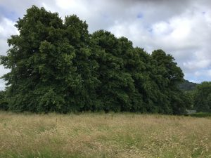 Lime or Linden Tree