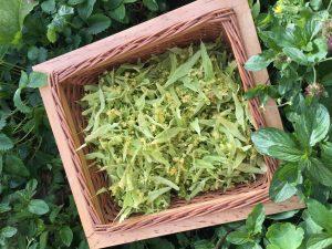 Limeflower harvest