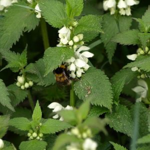 Dead nettle has no sting