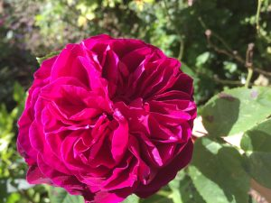 Damask rose is best for use with rosewater
