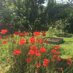 Plum trees and roses thriving beyond the poppies